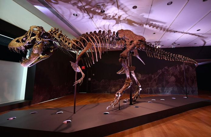 """Tyrannosaurus rex """"Stan"""""""