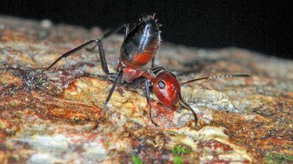 Zeldzame kamikazemier ontdekt op Borneo