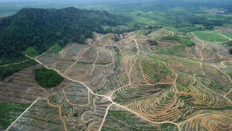 Veel bossen in Indonesië worden vernietigd om palmoliebomen te planten. Beeld afp