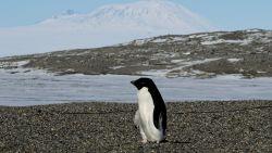 Van duizenden naar 2 pinguïnkuikens