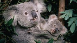 Heuglijk nieuws: koala's die gewond raakten tijdens bosbranden, worden weer vrijgelaten in het wild