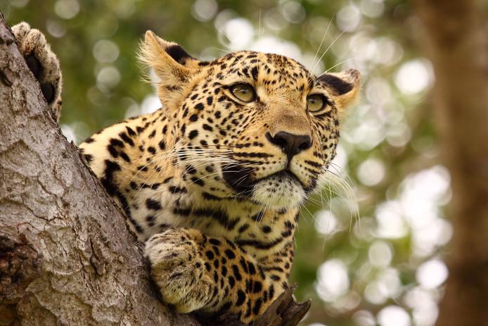 De geur van de barbecue lokte de luipaard vermoedelijk naar de tuin van de Ntimanes in het Krugerpark.