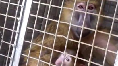 In België mag het niet, dus doet KU Leuven tests op bavianen in Kenia