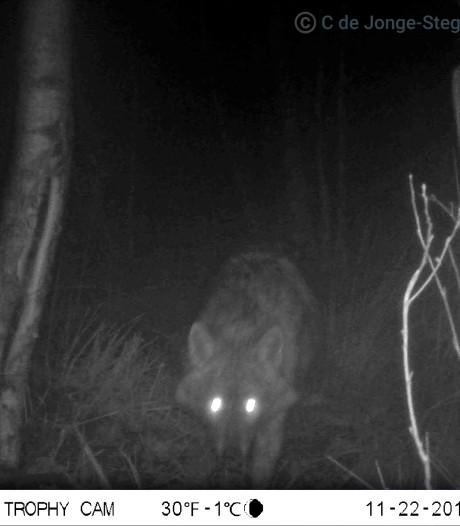 Wildcamera legt 'kleine neefje van de wolf' vast in Drenthe