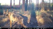 Premie voor gouden tip over wolvin Naya opgetrokken tot 30.000 euro