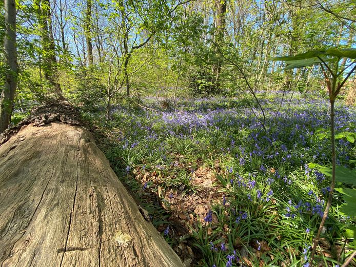 Een paars tapijt in het bos op Tiegemberg