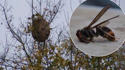 Opnieuw nest Aziatische hoornaars ontdekt in buurt van Poperinge