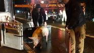 E313 opnieuw open na gecrasht varkenstransport