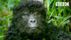 Robotaapje filmt voor het eerst 'zingende' gorilla's