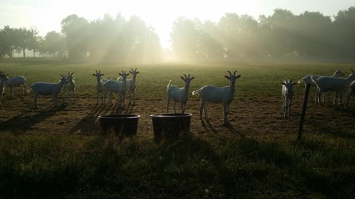 Jos van Berkum is winnaar van de fotowedstrijd Zomerfoto 2017 met zijn foto van deze geiten in de ochtendzon in Heeze.