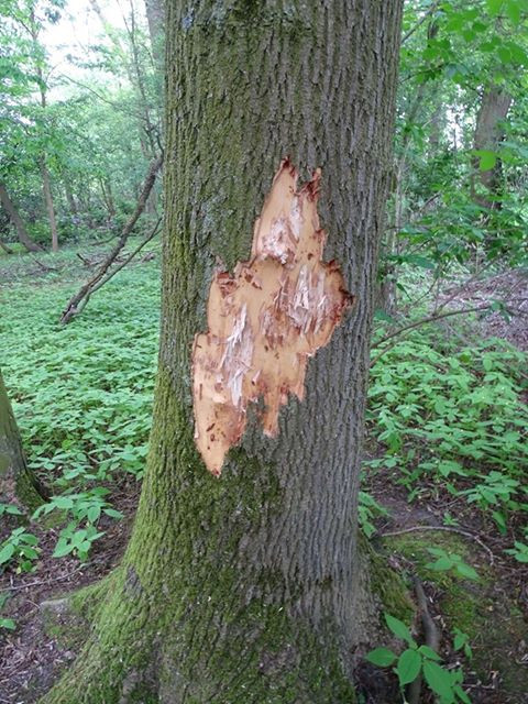 Zwaar beschadigde boom in het Leijpark.