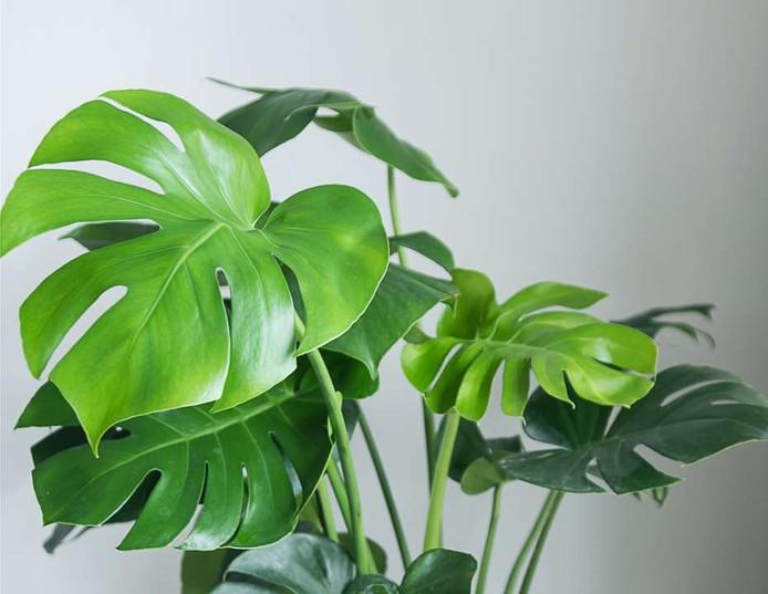 Grote kamerplanten zijn hip