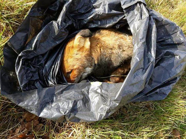 In natuurreservaat Laekdal werd dan weer een dood vosje in een plastic zak gevonden. Diezelfde dag werd er een ander kadaver gevonden in een weiland wat verderop. Volgens ANB wees niets in de richting van vergiftiging.