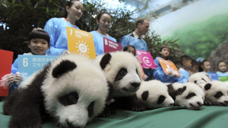Pandawelpen in Chengdu worden ten toon gesteld vanwege het 70-jarig bestaan van de Verenigde Naties. Beeld reuters