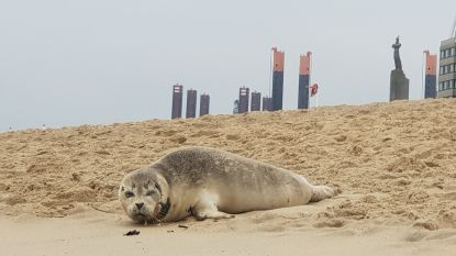 Politie vraagt (nog eens) om zeehonden op strand met rust te laten