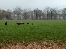 Ook schapen dood in Heeswijk-Dinther, vermoedelijk door wolf