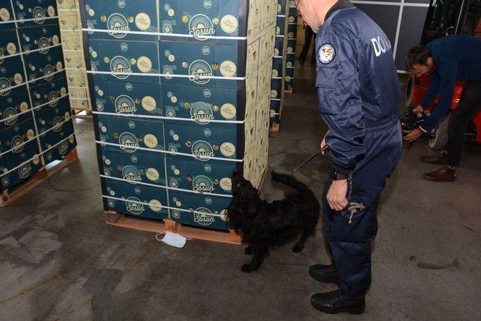 Een drugshond van de douane doorzoekt een lading bananen.