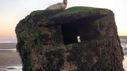 Gewonde zeehond na meer dan 24 uur van bunker gered