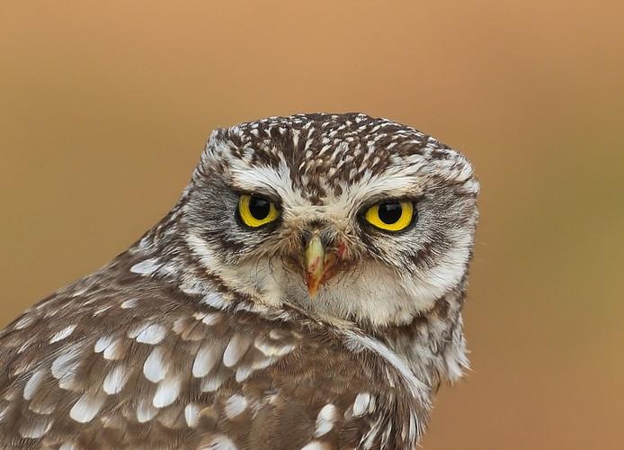 Met het verdwijnen van steeds meer oude schuren en andere gebouwen op het platteland wordt het voor uilen steeds moeilijker een geschikte broedplek te vinden.