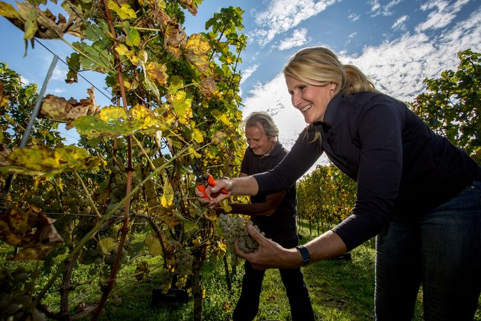 Wijnboeren dronken van geluk om warme zomer | Koken & Eten | AD.nl