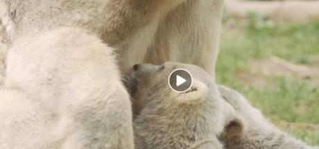 Deze namen kozen bezoekers voor meisje en jongen ijsbeer in Rhenen