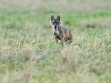 Nieuwsoverzicht | Wolf Billy waarschijnlijk doodgeschoten in Frankrijk - Efteling vervangt 120 jaar oude draaimolen