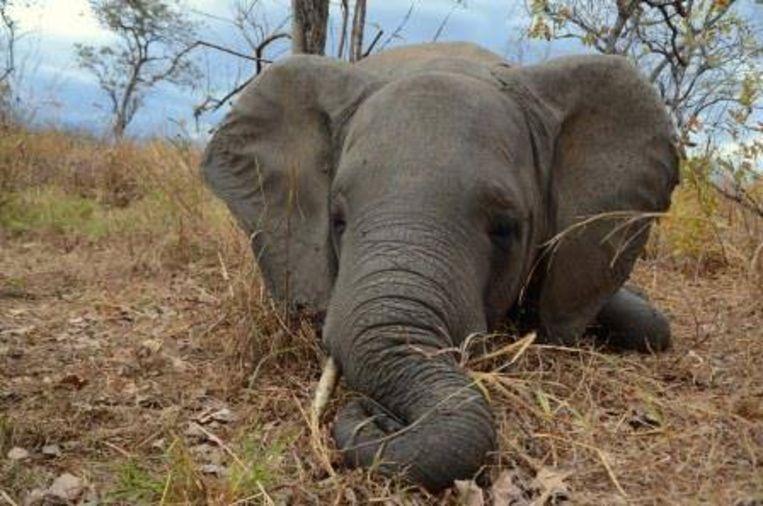 Een olifant gedood door stropers in het Niassa-park in 2015.