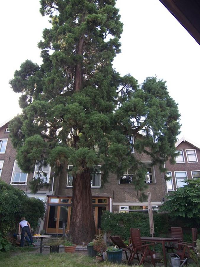 De 'omstreden' boom is al zo'n 160 jaar oud. Er is ophef omdat de bewoners hem willen kappen.
