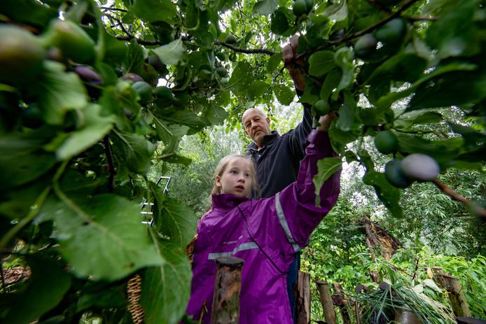 De stichting Voedselbos heeft in de natuurspeelplaats ervaring opgedaan met activiteiten voor inwoners. Begin augustus is jam gemaakt van pruimen aan de bomen. Fay Diender (7) plukte die dag met Hanjo IJkhout, voorzitter van de stichting Voedselbos en Natuurspeelplaats Kampen.