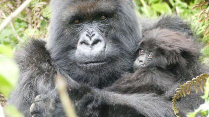 Laatste 'Gorilla in de mist' overleden