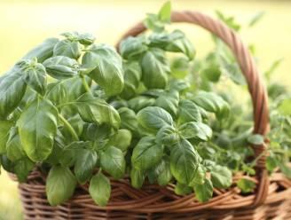 Rauwe basilicum eten kan tot voedselvergiftiging leiden