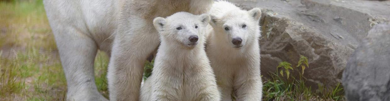 De tweeling Yura en Yuka, afgelopen november geboren in Ouwehands Dierenpark.