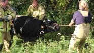 Brandweer redt drachtige koe uit Heulebeek