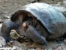 Toch nog exemplaar gevonden van al honderd jaar uitgestorven schildpaddensoort