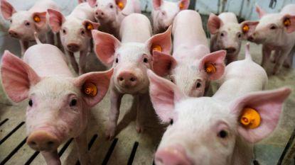 Vijf varkens overleven val in beerput niet
