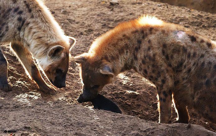 Safaripark Beekse Bergen verwelkomde dit weekend een hyena-pup.