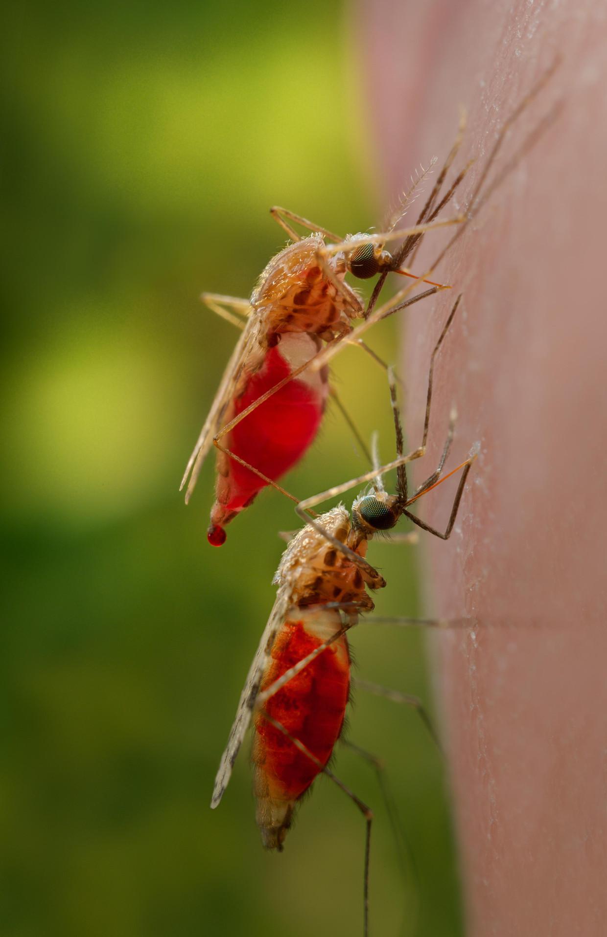 De malariamug van het type 'Anopheles'.