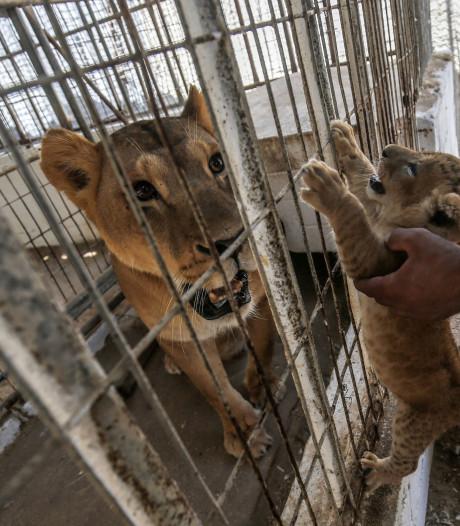 Le sinistre zoo de Gaza a déjà rouvert ses portes