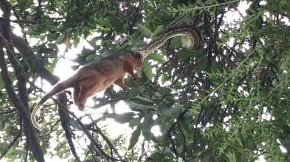 Niet voor gevoelige kijkers: zo verslindt een python een uit de kluiten gewassen buidelrat