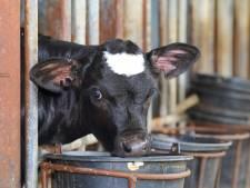 Verbod op harde roostervloeren voor kalfjes? Rechter kan er geen uitspraak over doen