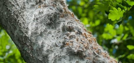 Honden en hondenbezitters in Twente gaan gebukt onder eikenprocessierups