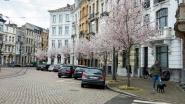 Toch een béétje lente in Antwerpen: bloesems Lambermontplaats in bloei