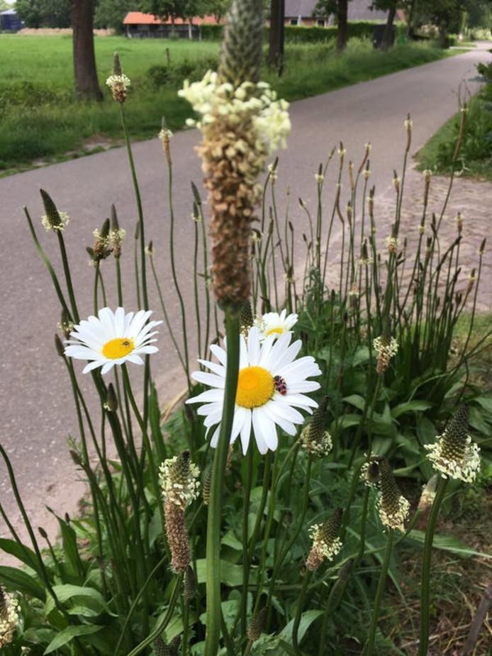 Met een vertraging van een jaar heeft het zaaien van een bijenlint in Haaren toch succes. Zoals aan de Hoge Raam te zien is.