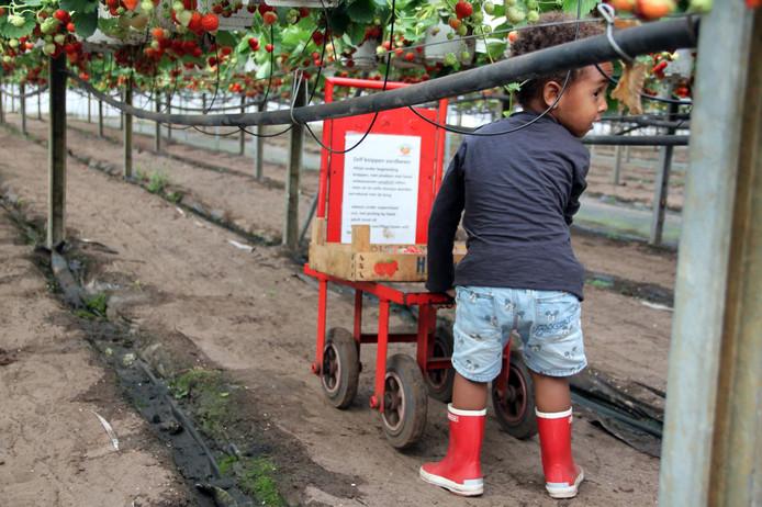 Wat zijn ze lekker, die verse aardbeien. James (2) plukt ze bij het Aardbeienterras in Rijsbergen.