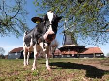 Twentse koe Liesje22 verovert Europa