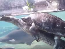 Schildpad lift mee op rug gaviaal