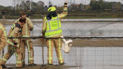 Ook hulpdiensten dragen zijn steentje bij aan Werelddierendag: brandweermannen redden zwaan