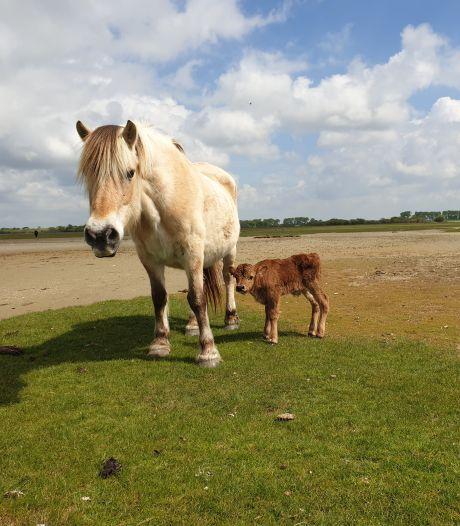 Aandoenlijk: verdwaald kalfje sluit zich aan bij kudde paarden