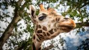 Nieuwe beschermde diersoorten: giraf en makohaai