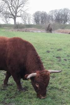 Slacht runderen bij Loevestein stilgelegd omdat vlees te veel dioxine bevat